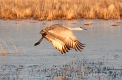 Sandhill Crane  (Grus canadensis) Stock Image