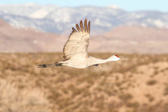 Sandhill Crane  (Grus canadensis) Stock Photo