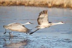 Sandhill Crane  (Grus canadensis) Stock Images
