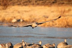 Sandhill Crane  (Grus canadensis) Royalty Free Stock Image