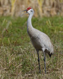 Sandhill Crane (Grus canadensis) Calling in Spring Stock Images