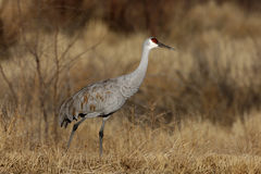 Sandhill crane, Grus canadensis Royalty Free Stock Photo