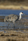 Sandhill crane, Grus canadensis Royalty Free Stock Image