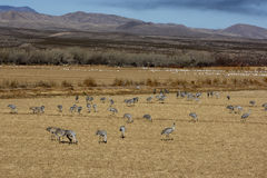 Sandhill crane, Grus canadensis Stock Photo