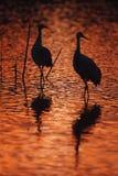 Sandhill crane, Grus canadensis Royalty Free Stock Images