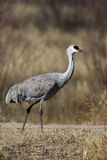 Sandhill crane, Grus canadensis Stock Photography