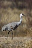 Sandhill crane, Grus canadensis Stock Photography