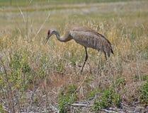 Sandhill Crane (Grus canadensis) Royalty Free Stock Photo