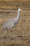 Sandhill crane,  Grus canadensis, Stock Photo