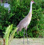 Sandhill Crane (Grus Canadensis) Royalty Free Stock Photo