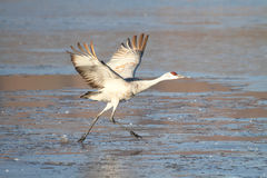 Sandhill Crane  (Grus canadensis) Royalty Free Stock Photography