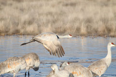 Sandhill Crane  (Grus canadensis) in Winter Royalty Free Stock Photos
