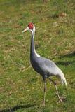 Sandhill crane. (Grus vipio) walking in the landscape Stock Image