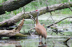 Sandhill Crane and Hatchling Baby Stock Photos