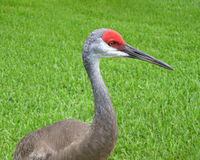 Sandhill crane head shot Stock Photos