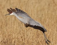 Sandhill crane just taking off royalty free stock images