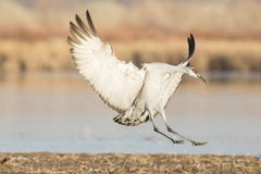 Sandhill crane landing near lake Royalty Free Stock Photos