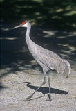 Sandhill crane with long legs royalty free stock photography