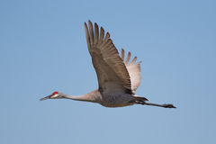 Sandhill Crane. Looking for other s Stock Photos