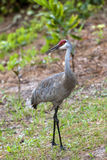 Sandhill crane looks to the side. Stock Photo