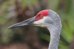 Sandhill crane. Male florida sandhill crane head Royalty Free Stock Images