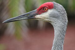 Sandhill crane. Male florida sandhill crane head Stock Photos
