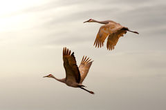 Sandhill Crane mating pair in flight Royalty Free Stock Image