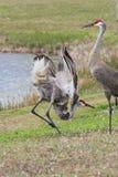 Sandhill Crane Mating Ritual Lizenzfreies Stockfoto