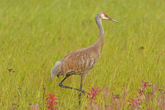 Sandhill Crane in a Meadow Stock Image