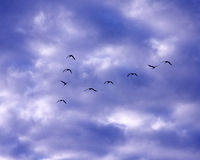 Sandhill Crane Migration Royalty Free Stock Images