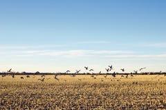 Sandhill Crane Migration Over Cornfield in het Amerikaanse Midwesten Stock Afbeelding