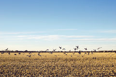 Sandhill Crane Migration Over Cornfield nel Midwest americano Immagine Stock