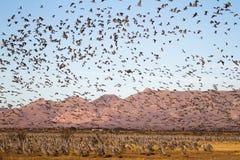 Sandhill Crane Migration på för attraktionnaturresurs för vitt vatten området för beskydd Royaltyfri Foto