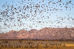 Sandhill Crane Migration at White Water Draw Natural Resource Conservation District. Hundreds, if not thousands, of sandhill cranes migrate to the White Water Royalty Free Stock Photo