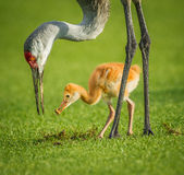 Sandhill crane mother feeding her chick royalty free stock image