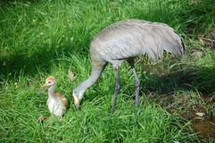Sandhill Crane mother with her chick Stock Image