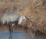 Sandhill crane. A Sandhill crane in a natural setting Stock Photo