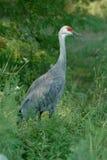 Sandhill Crane. At a nature reserve/wildlife safari in Nebraska Stock Photos