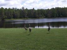 Sandhill Crane Near Lake, canadensis de Grus images libres de droits