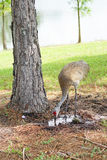 Sandhill crane near the lake is drinking water Stock Photography