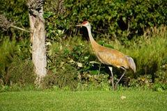 Sandhill crane in north America. Sandhill crane is species crane of North America stock photography