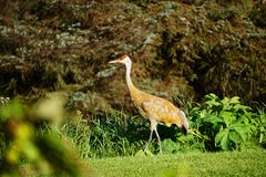 Sandhill crane in north America royalty free stock images