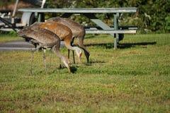 Sandhill crane in north America. Sandhill crane is species crane of North America stock image