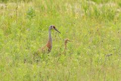 Sandhill crane with offspring Royalty Free Stock Photography
