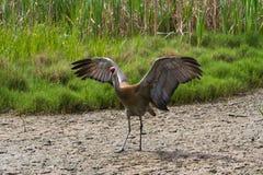 Sandhill crane Stock Photo