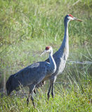 Sandhill Crane Pair Fotografia Stock Libera da Diritti
