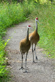 Sandhill Crane Pair Stock Photos