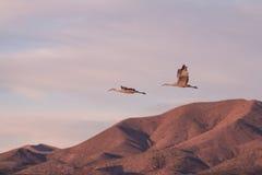 Sandhill Crane Pair in Flock Royalty Free Stock Photography