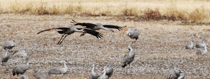 A Sandhill Crane Pair Glides In, Rejoining its Winter Surivival Royalty Free Stock Photo