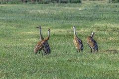 Sandhill Crane Pairs royaltyfria foton